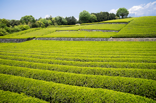 新緑の茶園の写真素材 [FYI00338526]