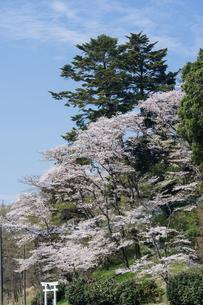寺家ふるさと村の桜の写真素材 [FYI00338543]