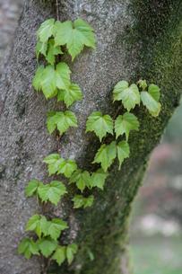 芽吹きのツタの葉の写真素材 [FYI00338553]