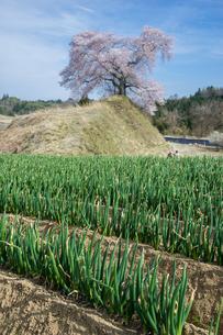 陽春のネギ畑の写真素材 [FYI00338563]