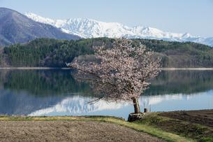 青木湖畔の一本桜の素材 [FYI00338571]