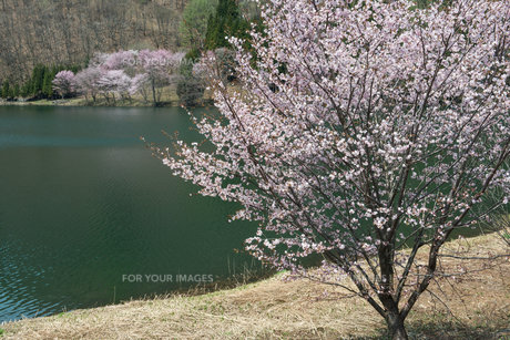 中綱湖の桜の素材 [FYI00338587]