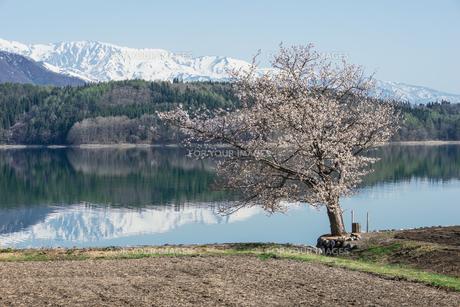 青木湖畔の一本桜の素材 [FYI00338617]