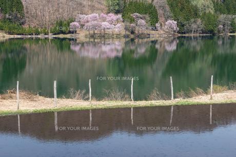 中綱湖の桜の素材 [FYI00338672]