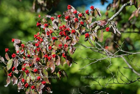 ハナミズキの木の実の素材 [FYI00338691]