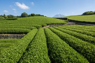 新緑の茶畑の写真素材 [FYI00338847]