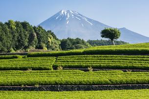 萌黄色の茶畑と富士山の写真素材 [FYI00338858]