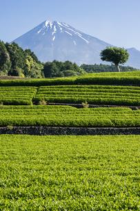 新茶の茶畑と富士山の写真素材 [FYI00338870]