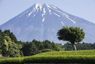 初夏の富士山の写真素材 [FYI00338882]