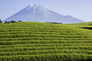 新茶畑と富士山の写真素材 [FYI00338884]