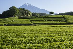 お茶畑と富士山の写真素材 [FYI00338890]