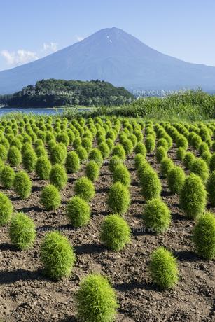 緑のホウキギ畑の写真素材 [FYI00338943]