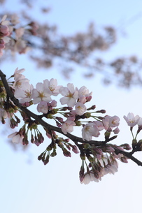 sakuraの写真素材 [FYI00361025]