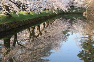 水鏡に映る桜の写真素材 [FYI00361183]