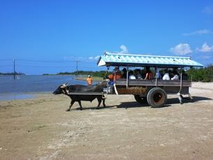 由布島の水牛車の写真素材 [FYI00361242]
