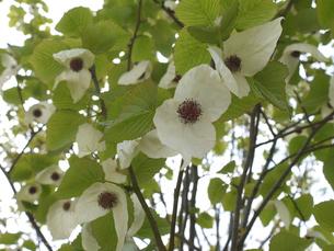ハンカチの木の花の写真素材 [FYI00361243]