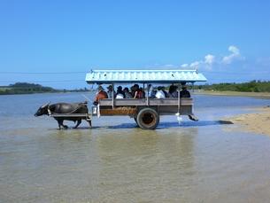 由布島の水牛車の写真素材 [FYI00361254]