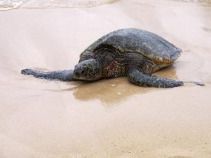 ノースショアのウミガメの写真素材 [FYI00361298]