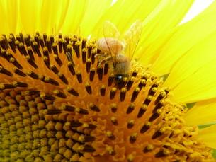 ひまわりとミツバチの写真素材 [FYI00361302]