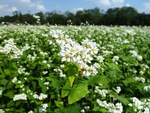 ソバの花の写真素材 [FYI00361356]