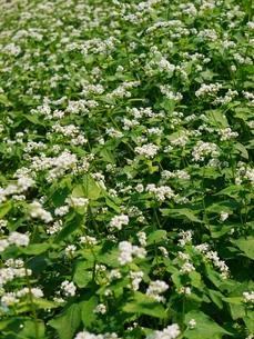 ソバの花の写真素材 [FYI00361375]