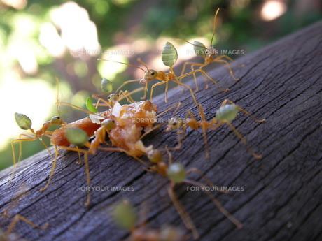 オーストラリアツムギアリの写真素材 [FYI00361439]