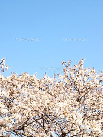 ソメイヨシノの写真素材 [FYI00361514]