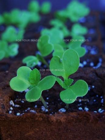 白菜の芽の写真素材 [FYI00361530]