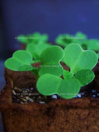 白菜の芽の写真素材 [FYI00361534]