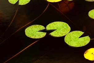 おしゃべりな蓮の写真素材 [FYI00361565]