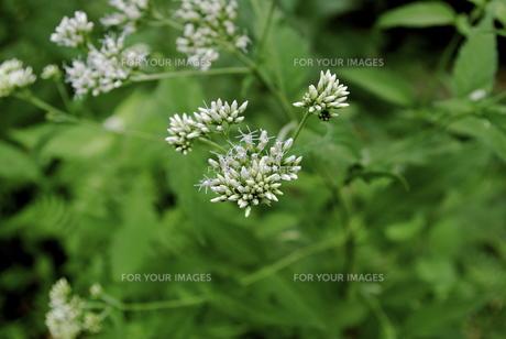山道で見つけた白い花の素材 [FYI00361627]