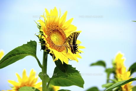 向日葵とアゲハチョウ2の素材 [FYI00361642]