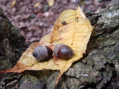 落ち葉とどんぐりの写真素材 [FYI00361877]