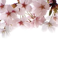 満開の桜 縦の写真素材 [FYI00361925]