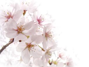 満開の桜 横の写真素材 [FYI00361945]