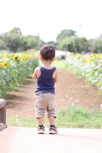 シャボン玉と後ろ姿の少年とひまわり畑の写真素材 [FYI00361980]