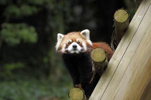 レッサーパンダの写真素材 [FYI00362175]