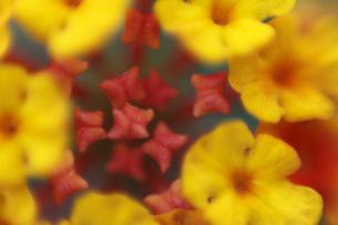 ランタナの花の拡大の写真素材 [FYI00362186]