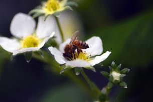 ハチとイチゴの花の写真素材 [FYI00362187]