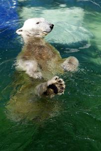 白クマの水浴び(1)の写真素材 [FYI00362189]