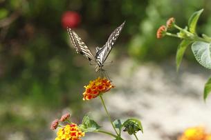 ランタナとアゲハチョウの写真素材 [FYI00362215]