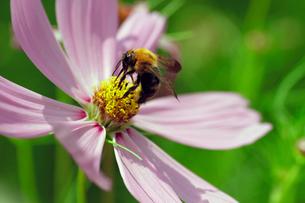 コスモスとミツバチの写真素材 [FYI00362220]