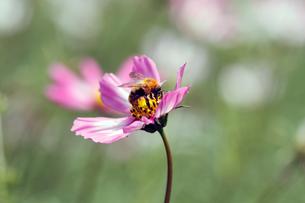 コスモスとミツバチの写真素材 [FYI00362222]