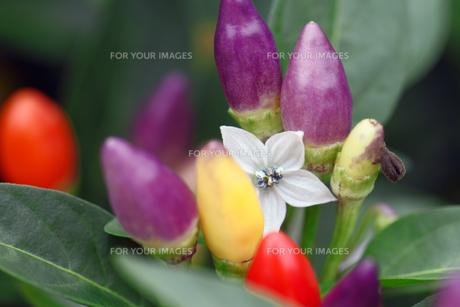 トウガラシの花の素材 [FYI00362223]
