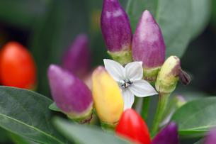 トウガラシの花の写真素材 [FYI00362223]