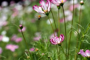 コスモスとミツバチの写真素材 [FYI00362229]