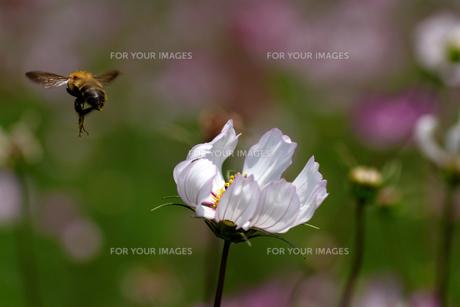 コスモスとミツバチの素材 [FYI00362235]