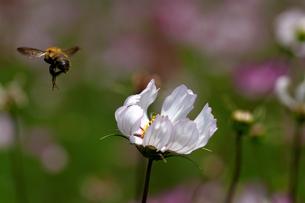 コスモスとミツバチの写真素材 [FYI00362235]