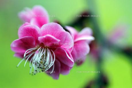 梅の花の素材 [FYI00362337]