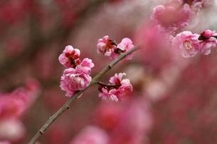 梅の花の写真素材 [FYI00362368]